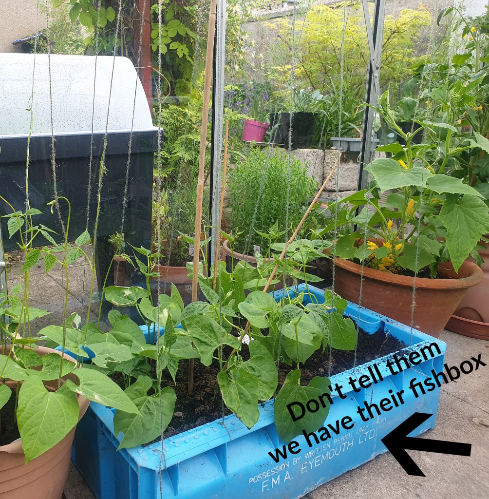 Fishboxes as growing containers