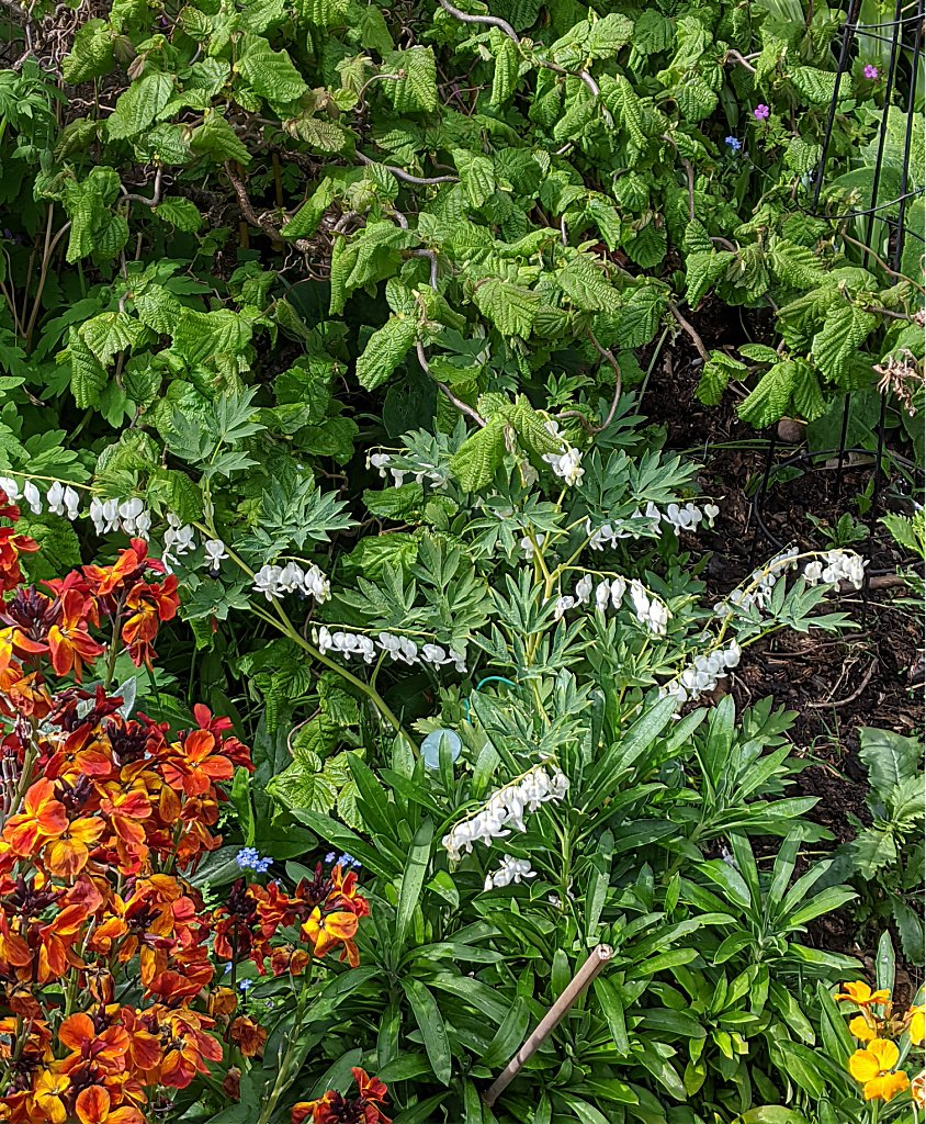 Wallflower and dicentra
